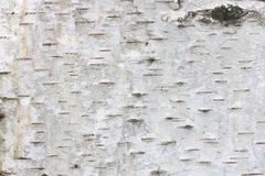 Fondo natural de la corteza de abedul con textura rayada natural del abedul Fotos de archivo libres de regalías