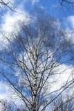 Fondo natural de la primavera, árbol de abedul Imagenes de archivo