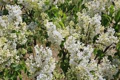 Fondo natural de la primavera con las flores blancas de la lila Fotografía de archivo