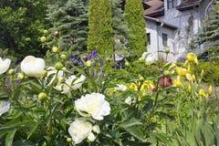 Fondo natural de la primavera con las flores blancas de las peonías Imagen de archivo