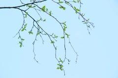 Fondo natural de la primavera con las hojas jovenes del abedul Fotos de archivo
