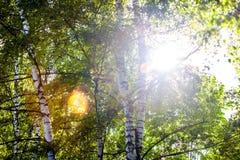 Fondo natural de la primavera con las ramas jovenes del abedul Foto de archivo libre de regalías