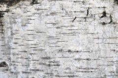 Fondo natural de la textura de la corteza de abedul Imagen de archivo libre de regalías