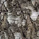 Fondo natural de la textura de la corteza de árbol de abedul Fotografía de archivo libre de regalías