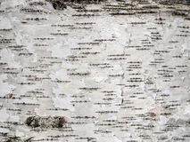 Fondo natural de la textura de la corteza de árbol de abedul Imagen de archivo libre de regalías