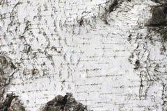 Fondo natural de la textura de la corteza de abedul Imágenes de archivo libres de regalías