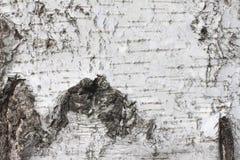 Fondo natural de la textura de la corteza de abedul Fotos de archivo libres de regalías