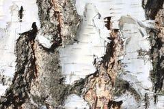 Fondo natural de la textura de la corteza de abedul Fotos de archivo