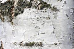 Fondo natural de la textura de la corteza de abedul Foto de archivo