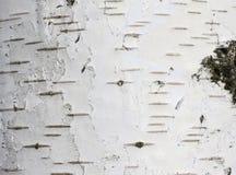 Fondo natural de la textura de la corteza de abedul Fotografía de archivo libre de regalías