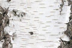 Fondo natural de la textura de la corteza de abedul Imagenes de archivo