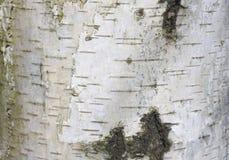 Fondo natural de la textura de la corteza de abedul Fotografía de archivo