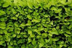 Fondo natural de la textura de la pared verde del arbusto Fotografía de archivo