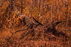 Fondo natural de un árbol caido en un bosque del otoño Fotos de archivo libres de regalías