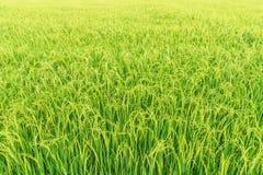 Fondo natural del campo verde del arroz Foto de archivo libre de regalías
