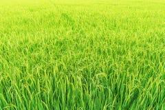 Fondo natural del campo verde del arroz Imagen de archivo