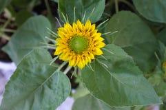 Fondo natural del girasol, floración del girasol foto de archivo libre de regalías