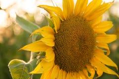 Fondo natural del girasol hermoso, rayos solares en la puesta del sol Fotos de archivo libres de regalías