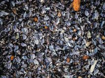 Fondo natural del mejillón vacío de la cáscara fotografía de archivo