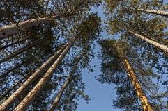 Fondo natural del top en los árboles coníferos en montaña balcánica Foto de archivo libre de regalías