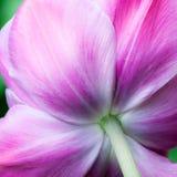 Fondo natural del tulipán Imagen de archivo