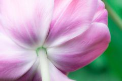 Fondo natural del tulipán Imagenes de archivo