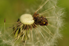 Fondo natural, escarabajo en un diente de león Foto de archivo libre de regalías