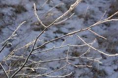 Fondo natural hecho de la rama de árbol congelada cubierta por el hielo y la nieve Imagen de archivo