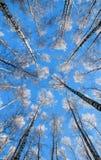 Fondo natural hermoso con los troncos largos, delgados del BI Imagen de archivo