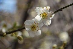 Fondo natural hermoso de la pizca de la rama de árbol de almendra de florecimiento Fotos de archivo