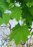 Fondo natural, hojas de arce verdes imágenes de archivo libres de regalías
