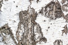 Fondo natural - la textura horizontal de un primer real de la corteza de abedul Fotos de archivo