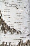 Fondo natural - la textura vertical de una corteza de abedul real Fotografía de archivo libre de regalías