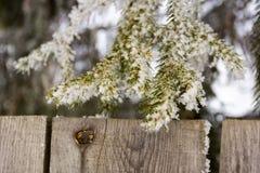 Fondo natural Primer del pino Ramas Spruce cubiertas con nieve sobre la cerca imagen de archivo