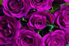 Fondo natural púrpura de las rosas Fotografía de archivo libre de regalías