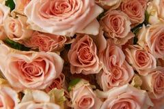 Fondo natural, rosas rosadas, textura de las rosas rosadas para la mesa, fondo Rosas hermosas y delicadas del espray Imagen de archivo libre de regalías