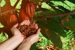 Fondo naturale del cioccolato di agricoltura Fotografie Stock