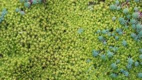 Fondo naturale della pianta con muschio ed i succulenti verdi delicati Immagine Stock Libera da Diritti