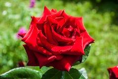 Fondo naturale delle rose rosse/ fotografie stock libere da diritti
