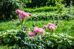 Fondo naturale delle rose rosse/ Fotografia Stock Libera da Diritti