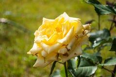 Fondo naturale delle rose rosse/ Fotografia Stock