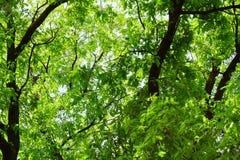 Fondo naturale di estate di molte foglie di grande quercia adulta Molto frondoso verde, vicino al tronco, un giorno caldo soleggi fotografia stock libera da diritti