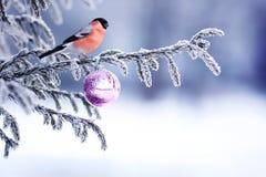 Fondo naturale di inverno con un si rosso del ciuffolotto del bello uccello fotografia stock