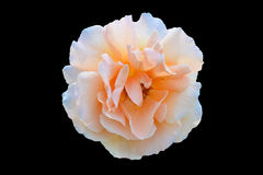 Fondo negro aislado rosa anaranjada del rosa Foto de archivo