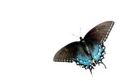 Fondo negro de la mariposa de Swallowtail Fotografía de archivo