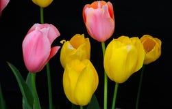 Fondo negro de los tulipanes rosados y amarillos Imágenes de archivo libres de regalías