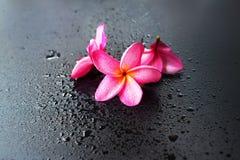 Fondo nero bagnato Dropp del frangipane rosa del gruppo Immagini Stock