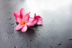 Fondo nero bagnato Dropp del frangipane rosa del gruppo Fotografia Stock