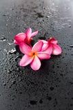 Fondo nero bagnato Dropp del frangipane rosa del gruppo Fotografie Stock