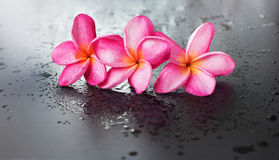 Fondo nero bagnato Dropp del frangipane rosa del gruppo Fotografia Stock Libera da Diritti